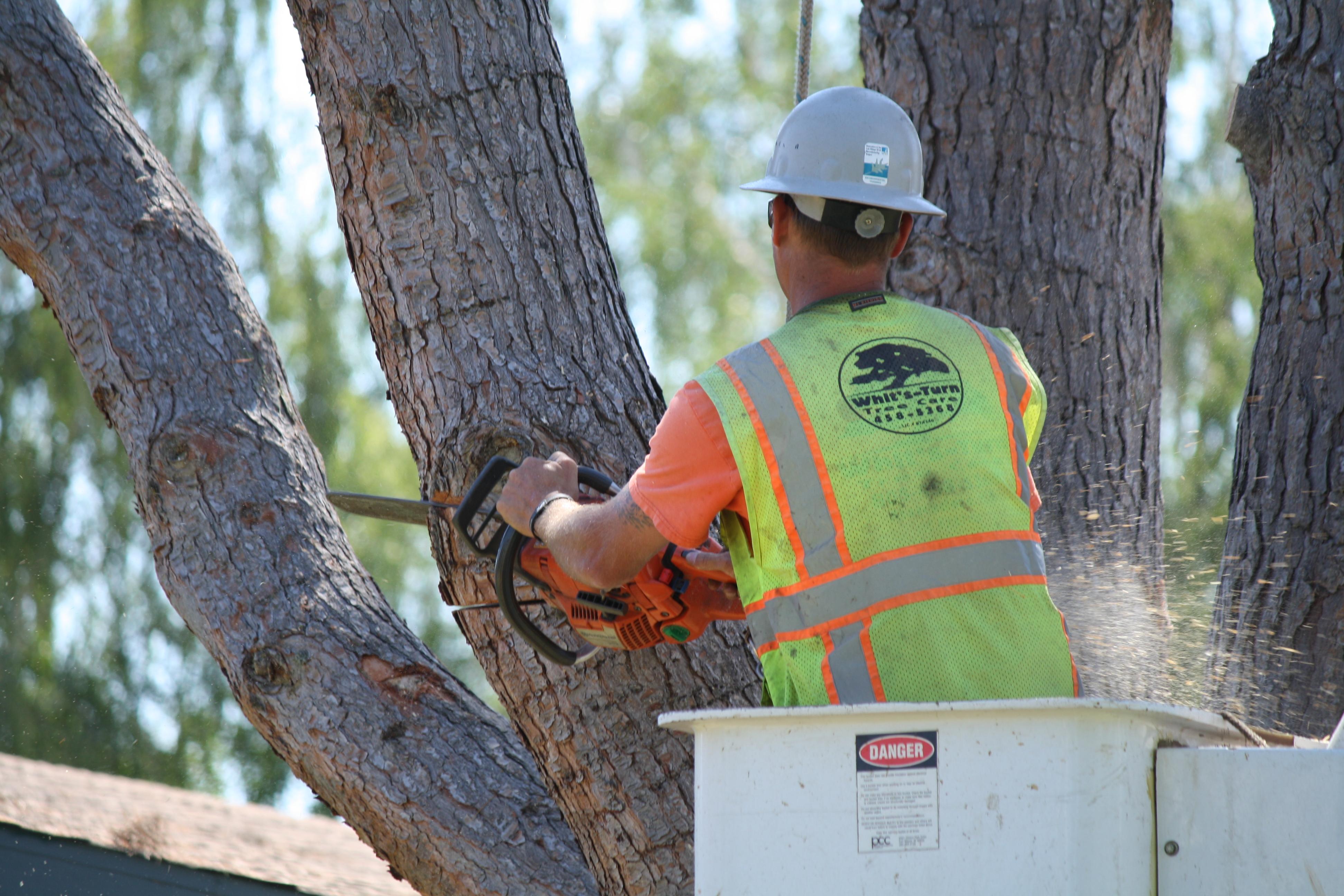 diseased pine removal